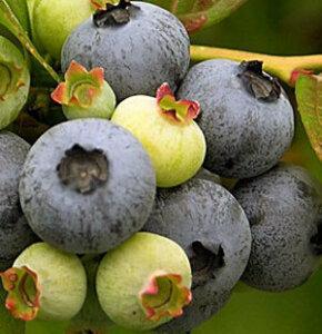 blueberry atlantic