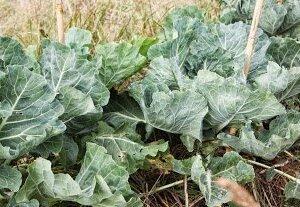 Dalmatian cabbage2.1.11 011
