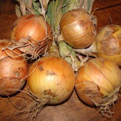 Northland Pukekohe Long Keeper Onions for e-mail
