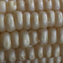 kaanga ma  corn