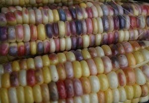 rainbow inca sweet corn