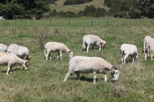 Wiltshire Horns