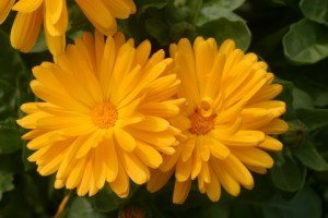 yellow calenduala