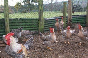 legbar hens and rooster