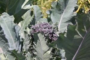 purple srouting broccoli