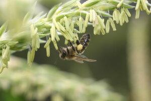 we love bees .. bees on corn pollen
