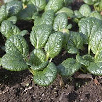 asian_greens_tatsoi_1